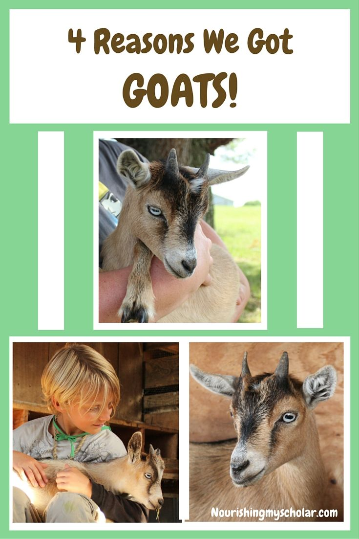 Well here we are, we've been on the farm for three months now and guess what? This week, we bought goats! Here are the 4 reasons why....