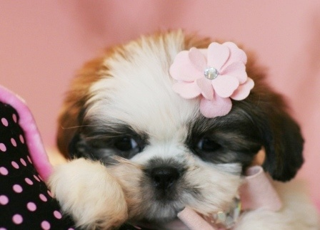Teacup Shih Tzu puppies | all kinds of cute dogs | Pinterest