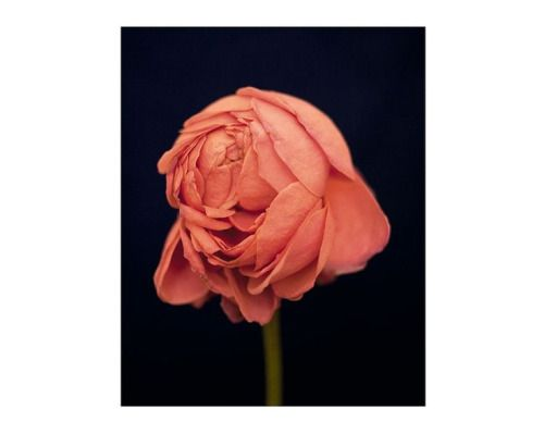 Rose Poster | DEBBIE CARLOS SHOP  #currentvibes #currentlycoveting