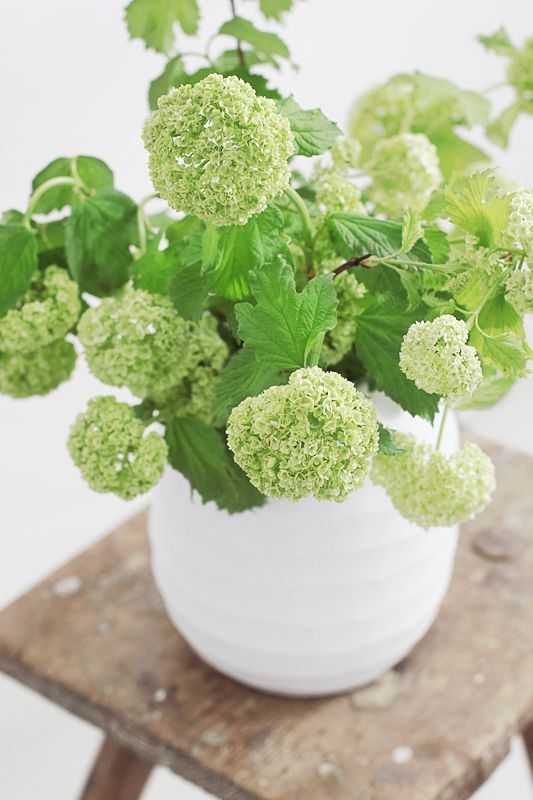 A simple vase of just pale green viburnum opulus always looks fabulous. Price…