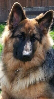 9 months old. .Long haired German shepherd