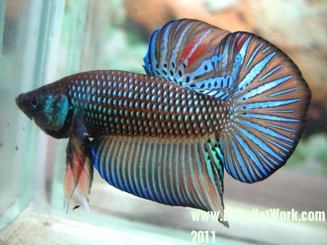 17 best images about wild bettas on pinterest nice for Wild betta fish