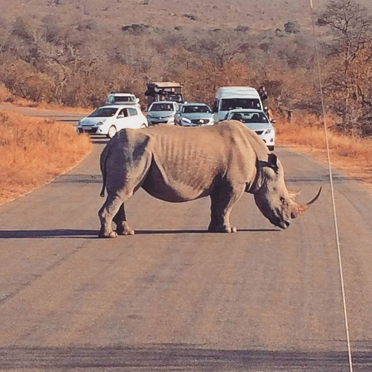 Our #TravelAdventurer, Abhishek Narendra Singh, got stuck in a one-of-a-kind traffic jam at the Kruger National Park. Getting up close and personal with a giant Rhino, quite literally! #GrabYourDream #SouthAfrica #Wildlife #travel #adventure #travel #wanderlust