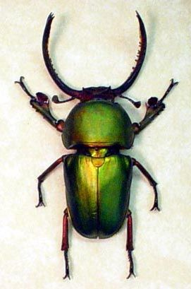 Green Stag Beetle  lamprima adolphinae