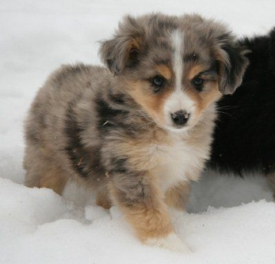 My baby girl Ella...a mini-Aussie
