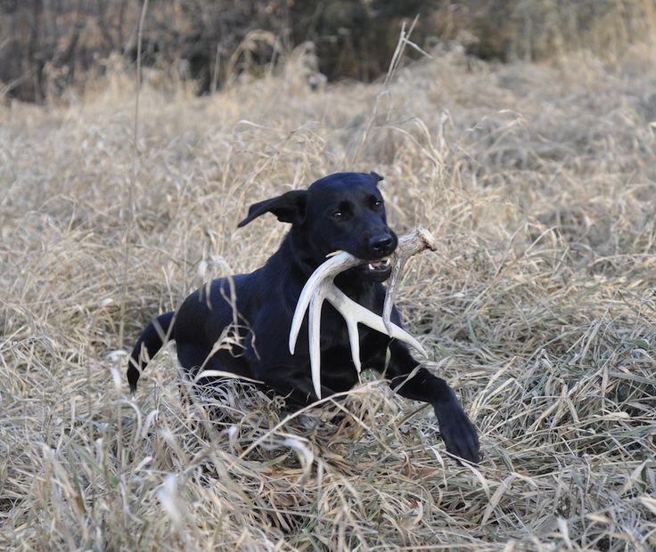 10 Best Dogs Shed Hunting Images On Pinterest Elk