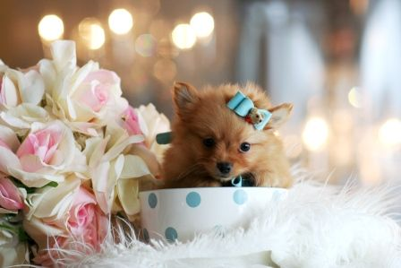 Teacup Pomeranian Puppy!