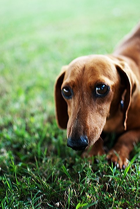 Looks like our first dachsund Henry. I sure miss that baby. Such a good boy.