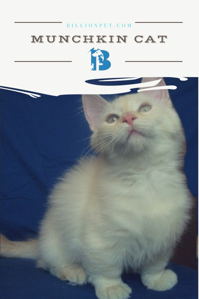 This topic is dedicated to munchkin cat breeders, whom already own or willing to adopt this type of cats. We are going to cover some basic information, such as, from where the name came, the history, characteristics, surprising facts in…
