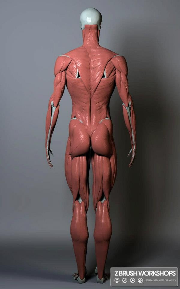 104 best anatomia images on Pinterest | Human anatomy, Drawing ...