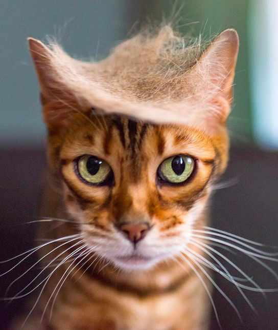 This pretty green eyed cat with long whiskers has a semi realistic Donald Trump toupee made out of its own hair! 8/10