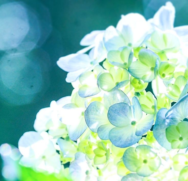 _____________あじさい寺 *_*_*_*_*_*_*_*_*    露出アンダー、ホワイトバランス電灯に  気付かず暫く撮っていました。    #あじさいまつり   #紫陽花寺   #はなまっぷ   #花の写真館   #tv_flowers   #wp_flower   #flower   #flowertalking   #flowers   #ファインダー越しの私の世界  #キタムラ写真投稿   #team_jp_flower   #tv_flowers   #tokyocameraclub   #あじさい   #japan_daytime_view   #妙楽寺  #あじさい寺  #hydrangea  #はなまっぷあじさい2017