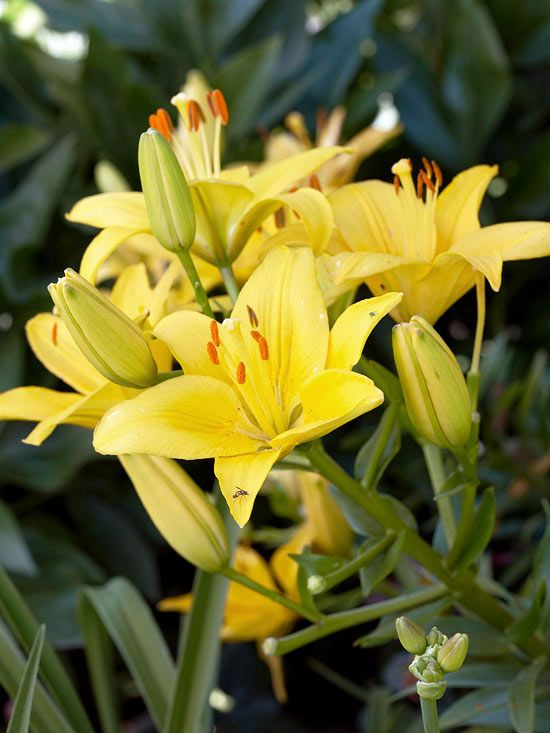 Best Yellow Flowers  Asiatic Lily Golden-yellow Asiatic lilies are the perfect plants for transitioning your garden from spring to summer. Enjoy their gorgeous starry flowers in the landscape or cut them as long-lasting cut flowers. Name: Lilium