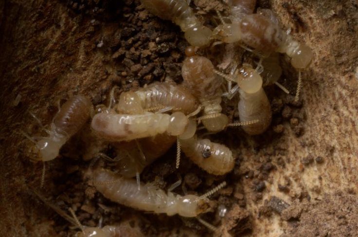 termite queen how many eggs