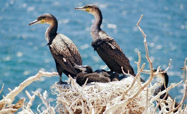Rare cormorant birds in Senegal's Iles de la Madeleine National Park, a pair of spiky uninhabited outcroppings 2.5 miles off the coast of Dakar. (TJ Haslam/ Flickr)