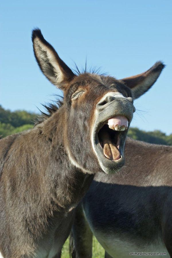 Donkey Yawning by carter flynn | interesting details ...