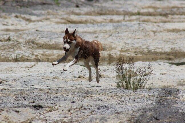 Husky rosso,  il suo nome è kira... :)