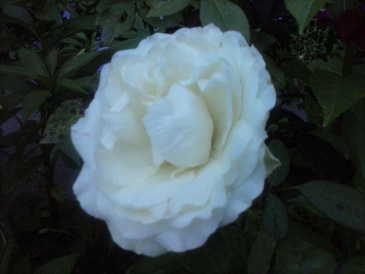 #Rose #Beautiful #Garden