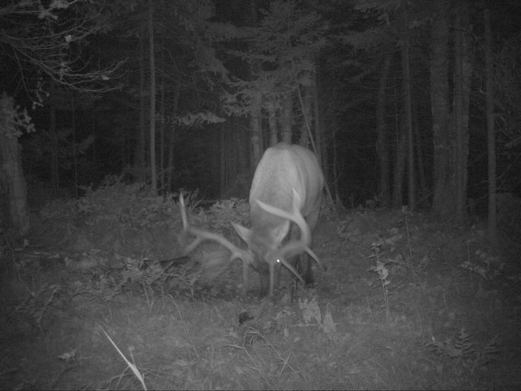 Bull Elk--Sawyer County
