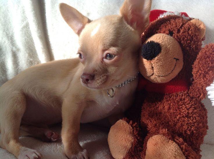 Absolut hübsche Mini-Chihuahua Welpen