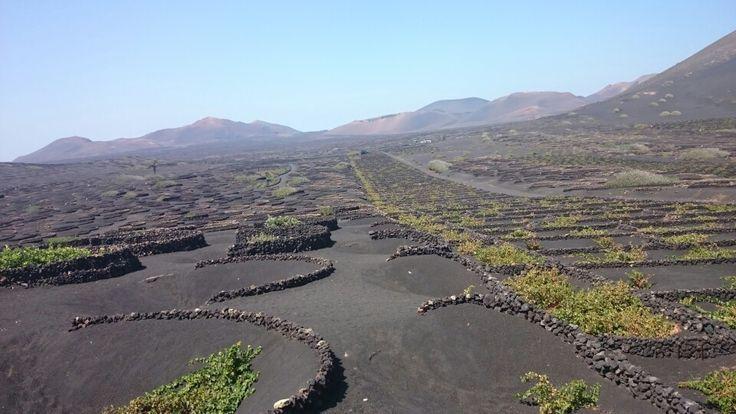 Viñas en cenizas volcánicas
