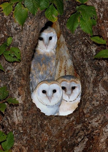 Beautiful family of Barn Owls (Tyto alba
