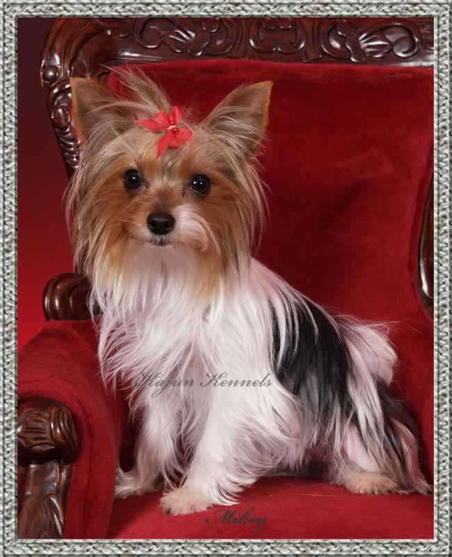 party yorkshire terrier 60 best parti yorkie images on pinterest yorkie yorkies 3586