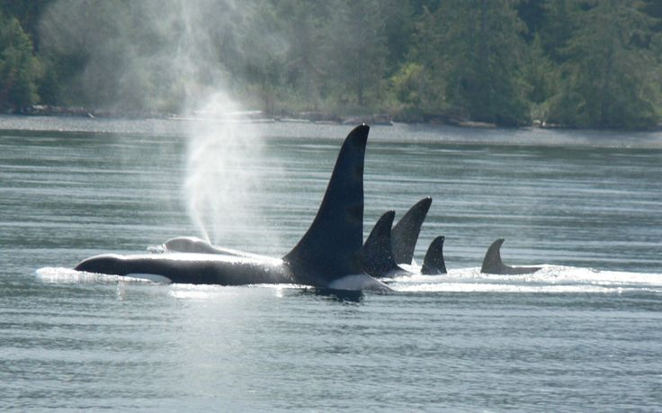 Killer Whales, also known as Orcas have strong support around the world.