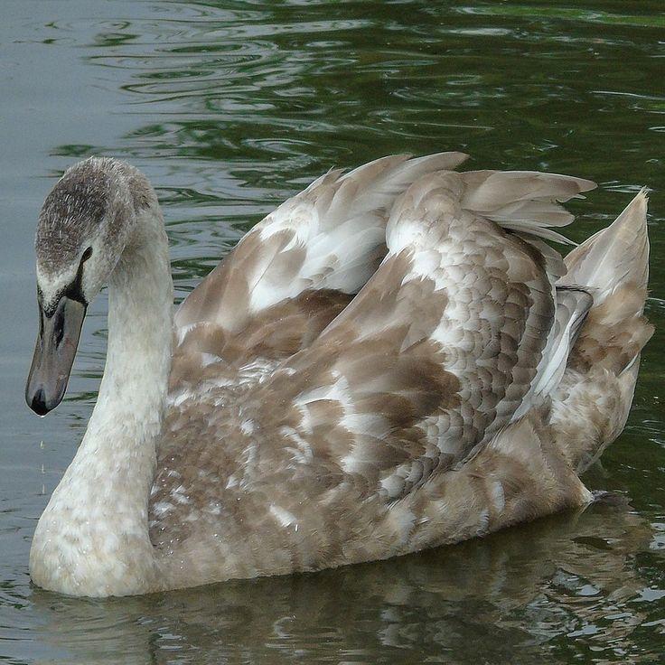 Jonge Zwaan (Van vroegevogels)