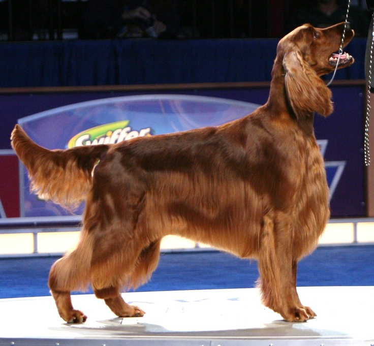 Ch Shadagee Caught Red Handed - Irish Setter