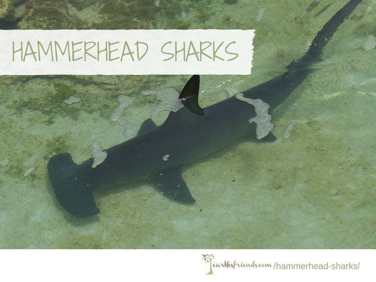 Hammerhead Sharks: The Reason of Its Hammer Shaped Head, What They Eat, Behavior, Its Importance to The Environment, Habitat & More