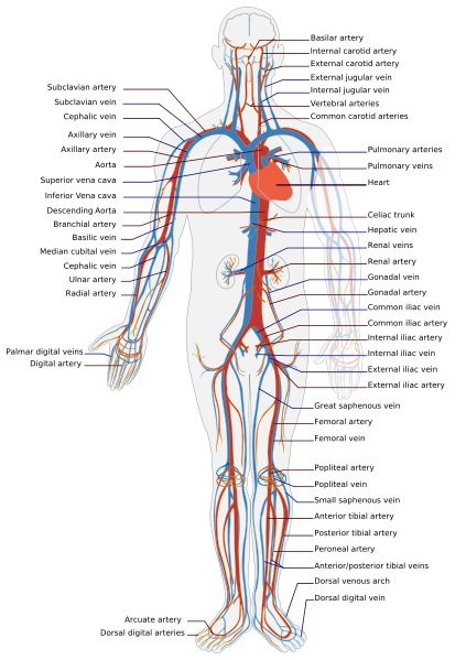 Circulatory System...REALLY need to memories these                                                                                                                                                                                 More