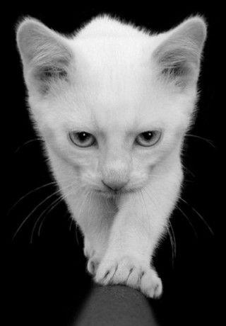 .I'm coming to get you! ^..^: Balance Beams, Kitty Cat, Pet, Blue Eye, Cat Cat, Kittens, Animal, Snow White, White Cat