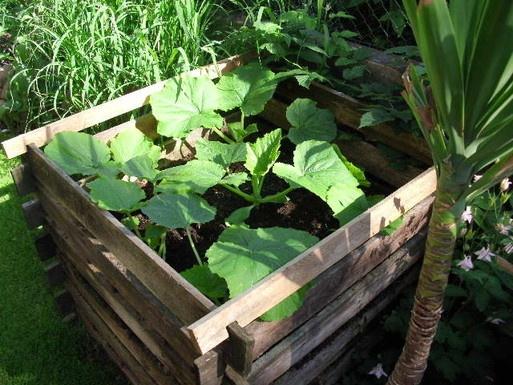 Zucchinis wachsen und gedeihen. Schneckenbekämpfung war erfolgreich.