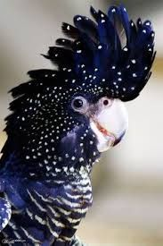 Image result for small australian native bird with red on head and feathers