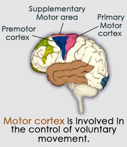 Motor Cortex: Location, Structure, and Function