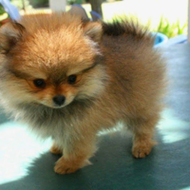Cutest puppy ever - baby pomsky