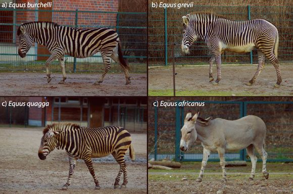 Why Do Zebras Have Stripes? Not for Camo, Scientists Say Jan 25, 2016 by News Staff / Source