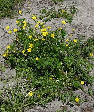 Rönsyleinikki, Ranunculus repens - Kukkakasvit - LuontoPortti