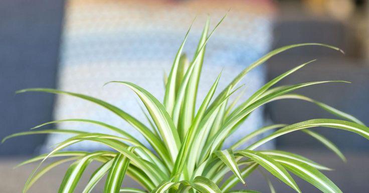 412 besten zimmerpflanzen bilder auf pinterest pflanzen bonito und bonsai. Black Bedroom Furniture Sets. Home Design Ideas