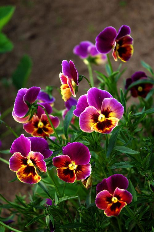 outdoormagic:  Pansies by Denis Chavkin