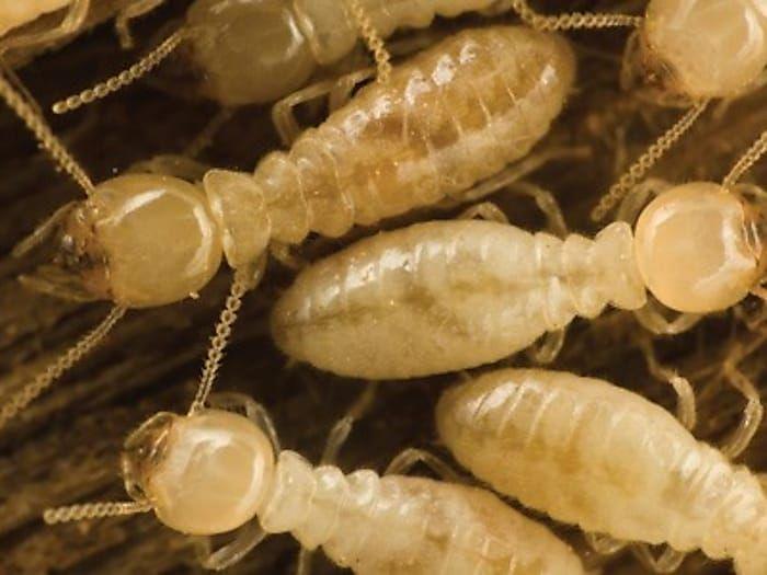 Kitchen Cabinet Organizers Diy Dividers Termite Treatment Termite Control Termites