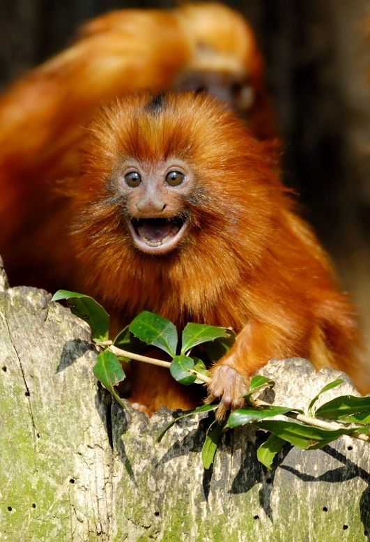 Brazil tour. Golden Marmoset - Leontopithecus rosalia - a cute Golden Lion Tamarin baby. Brazil vacations.