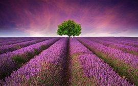 Belle champ de lavande, fleurs pourpres, arbre solitaire