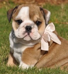 English bulldog!Gift, Sweets, English Bulldogs Puppies, English Bulldog Puppies, Pets, Pink Bows, Baby Bulldogs, Baby Girls, Animal