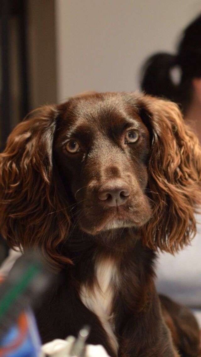 Pin Van Suzanne Op Working Spaniel In 2020 Springer Spaniel