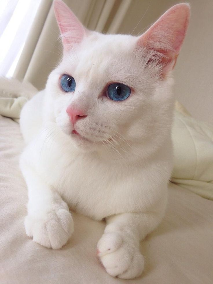 mino on Twitter: white cat
