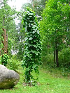 Aristoloche à grandes feuilles (Aristolochia macrophylla): plante grimpante.