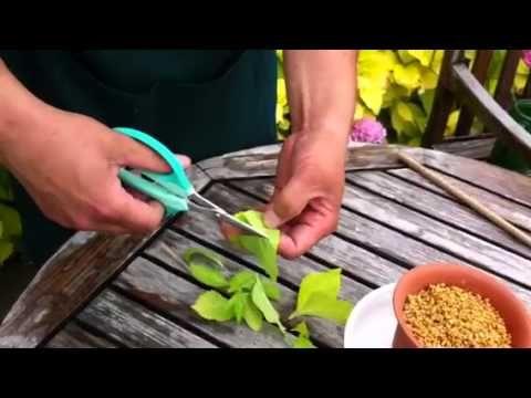 アジサイの育て方・日常管理 挿し木 植え付け - YouTube