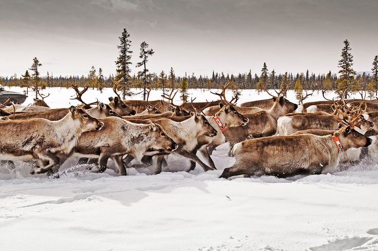 Swedish Lapland - Reindeer gallop through snow near Gallivare, a remote town 60 miles inside the Arctic Circle